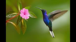colibri peru